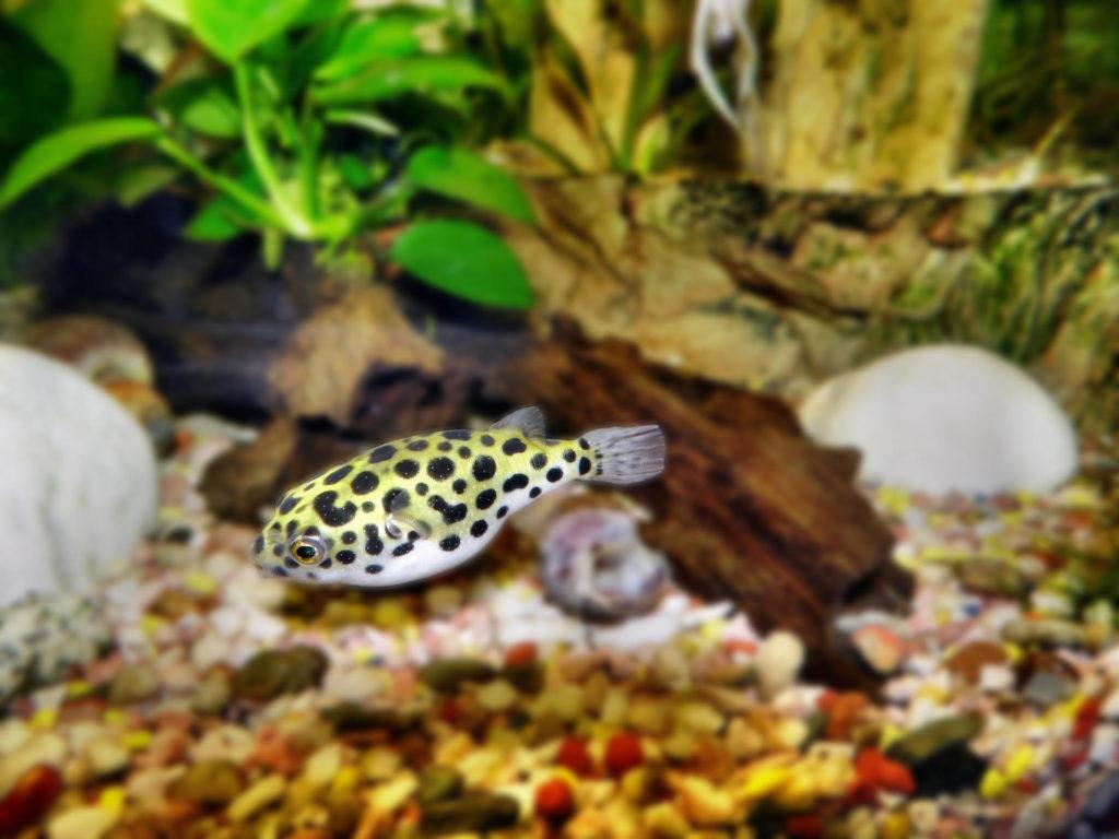 pez-globo-gaussiano