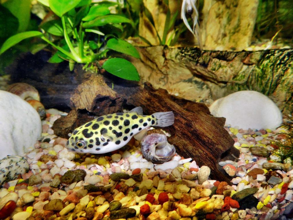 pez globo tijeras inteligentes